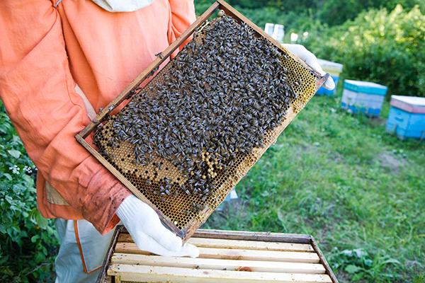 Bees BigYellowBag GloryBee